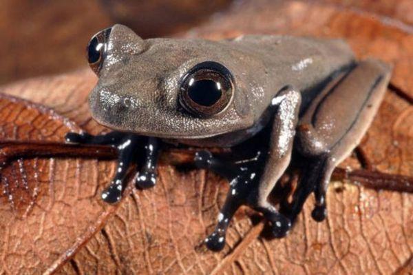 La rana cacao, una especie arbórea desconocida hasta ahora.