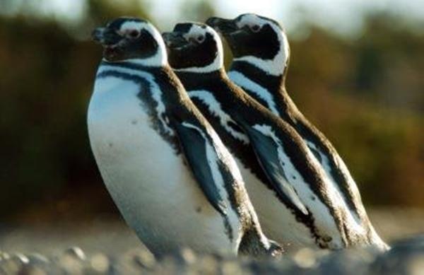 pinguino de magallanes